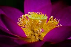 Flor dos lótus Imagens de Stock