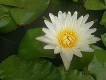Flor dos lótus brancos Imagem de Stock Royalty Free