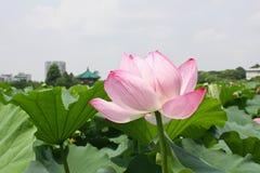 Flor dos lótus em Japão fotografia de stock royalty free