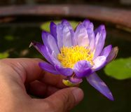 A flor dos lótus floresce 01 Fotos de Stock