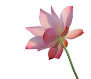 Flor dos lótus isolada no branco Imagens de Stock