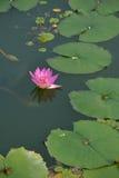 Flor dos lótus na flor Imagens de Stock Royalty Free