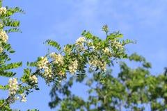 Flor dos locustídeo Imagens de Stock Royalty Free
