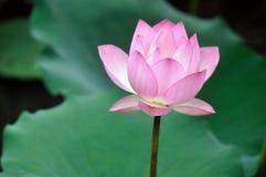 Flor dos lótus Fotos de Stock