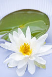 Flor dos lótus Fotografia de Stock