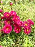 Flor dos Mums Imagens de Stock Royalty Free