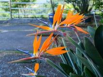 Flor dos reginae do Strelitzia imagem de stock royalty free