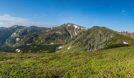Flor dos rododendros nas montanhas Foto de Stock Royalty Free
