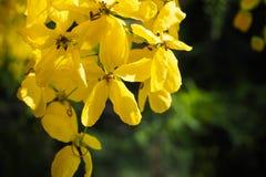 Flor dourada da flor do chuveiro no jardim Flor de Ratchaphruek ramo amarelo da flor com a folha verde no verão Fotografia de Stock Royalty Free