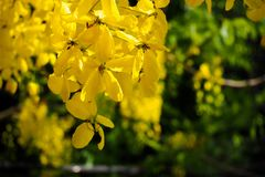 Flor dourada da flor do chuveiro no jardim Flor de Ratchaphruek ramo amarelo da flor com a folha verde no verão Fotografia de Stock