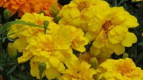 Flor dourada da rosa Fotos de Stock