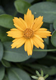Flor dourada de Nana do Coreopsis do close up fotos de stock royalty free
