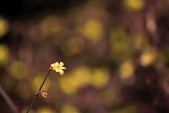 A flor dourada do› amarelo do ¼ do jasmineï do inverno fotos de stock