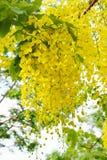 Flor dourada do chuveiro Imagens de Stock Royalty Free