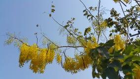 Flor dourada do chuveiro Foto de Stock Royalty Free