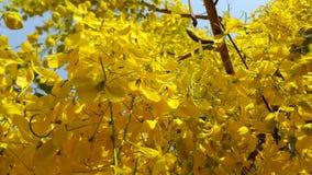 Flor dourada do chuveiro Fotos de Stock Royalty Free