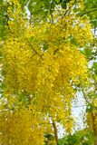 Flor dourada do chuveiro Fotografia de Stock