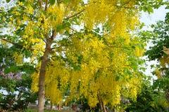 Flor dourada do chuveiro Fotografia de Stock Royalty Free
