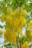 Flor dourada do chuveiro Imagens de Stock