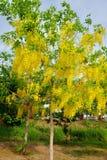Flor dourada do chuveiro Imagem de Stock Royalty Free