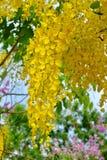 Flor dourada do chuveiro Foto de Stock