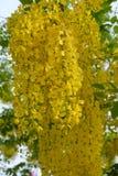 Flor dourada do chuveiro Imagem de Stock