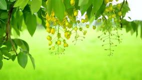 Flor dourada fresca do chuveiro com a árvore molhada da chuva o sopro pelo vento video estoque