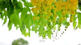 Flor dourada fresca do chuveiro com a árvore molhada da chuva o sopro pelo vento filme
