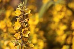 Flor dourada no jardim Fotos de Stock