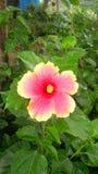 Flor dupla do hibiscus da cor Fotos de Stock