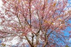 Flor e árvore da flor de cerejeira Foto de Stock