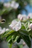 Flor e abelha Fotografia de Stock Royalty Free