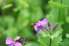 Flor e abelha Fotos de Stock Royalty Free
