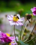 A flor e a abelha Foto de Stock Royalty Free
