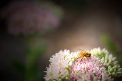 flor e abelha Foto de Stock