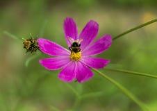 Flor e abelha da margarida da mola únicas Imagens de Stock Royalty Free