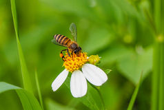 Flor e abelha da mola Fotografia de Stock Royalty Free