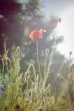 Flor e abelha da papoila na luz solar fotos de stock