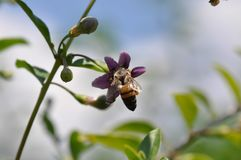 Flor e abelha de Goji fotografia de stock