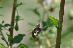 Flor e abelha de Goji imagens de stock