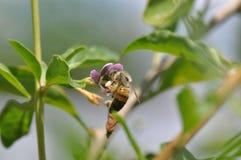 Flor e abelha de Goji imagem de stock royalty free