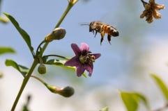 Flor e abelha de Goji foto de stock