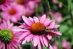 Flor e abelha de Purpurea do Echinacea fotografia de stock royalty free