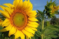 Flor e abelha de Sun Fotos de Stock Royalty Free