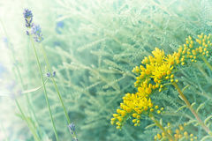 Flor e alfazema amarelas incomuns em meu jardim Imagem de Stock Royalty Free