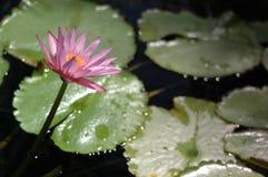 Flor e almofadas cor-de-rosa bonitas do lírio de água Imagens de Stock Royalty Free