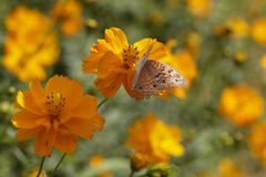 Flor e borboleta do cosmos Fotografia de Stock Royalty Free