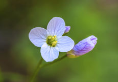 Flor e botão Fotos de Stock Royalty Free