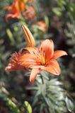Flor e botões alaranjados do lírio Fotos de Stock