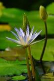 Flor e botões de Nymphae na estufa do jardim botânico de Cluj Foto de Stock